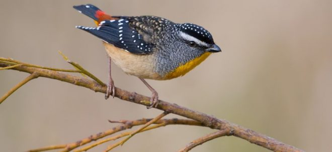 Spotted pardalote bird on a branch